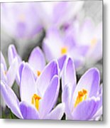 Purple Crocus Blossoms Metal Print