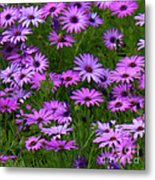 Purple Daisies Square Metal Print