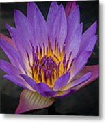 Purple Water Lily Metal Print