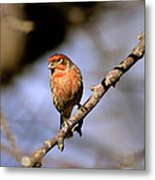Purple House Finch Metal Print