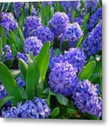 Purple Hyacinths Metal Print