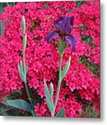 Purple Iris In Pink  Metal Print