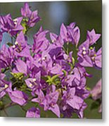 Purple Of The Bougainvillea Blossoms Metal Print