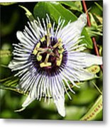 Purple Passionflower Metal Print