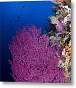 Purple Sea Fan In Raja Ampat, Indonesia Metal Print
