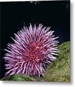 Purple Sea Urchin Feeding California Metal Print