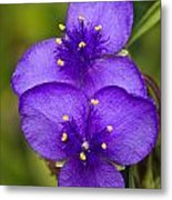 Purple Spiderwort 1 Metal Print