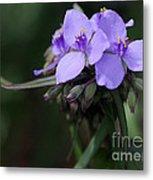 Purple Spiderwort Flowers Metal Print