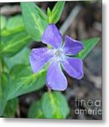 Purple Vinca Metal Print