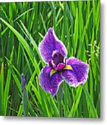Purple Water Iris Metal Print