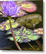 Purple Water Lilly Metal Print