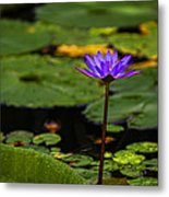 Purple Waterlily Metal Print