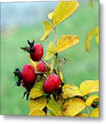 Pyracantha Berries Life Metal Print
