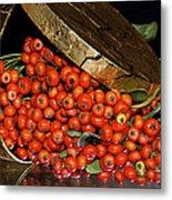 Pyracantha Berries Metal Print