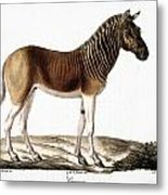 Quagga (equus Quagga) Metal Print