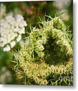 Queen Anne's Lace Going To Seed Metal Print