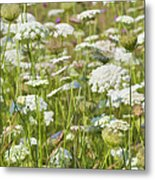 Queen Anne's Lace In All Its Glory Metal Print