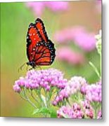 Queen Butterfly Sitting On Pink Flowers Metal Print