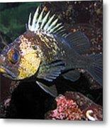 Quillback Rockfish  Metal Print
