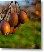 Quince In The Early Moning Sun Metal Print