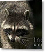 Raccoon 2 Metal Print