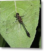 Racket-tailed Emerald Dragonfly Metal Print