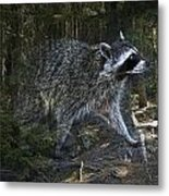 Racoon Emerging From The Woods Metal Print