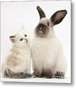 Ragdoll-cross Kitten And Young Metal Print