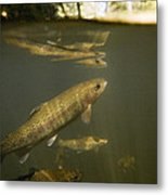 Rainbow Trout In Creek  Aptos California Metal Print