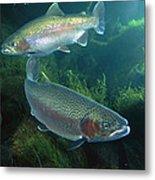 Rainbow Trout Oncorhynchus Mykiss Pair Metal Print