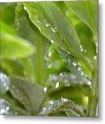 Raindrops On Sedum Metal Print