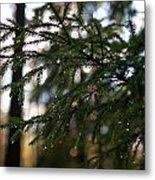 Raindrops On The Spruce Twig Metal Print