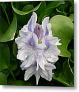 Rare Hawain Water Lilly Metal Print by Claude McCoy