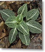 Rattlesnake Plantain A Study In Leaves Metal Print