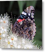 Red Admiral With Folded Wings Metal Print