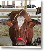 Red And White Cow In A Stable Close Up Metal Print