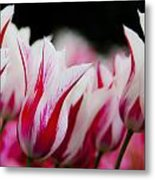 Red And White Tulips In Holland Metal Print