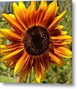 Red And Yellow Sunflower Metal Print