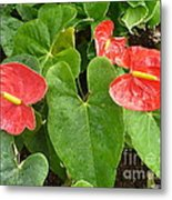 Red Anthurium Metal Print