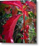 Red Autumn Woodbine Metal Print