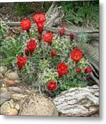 Red Barrel Cactus Metal Print