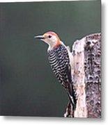 Red-bellied Woodpecker - Looking For Food Metal Print