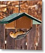 Red-bellied Woodpecker At Lunch Metal Print
