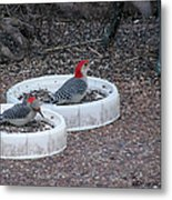 Red Bellied Woodpeckers Male And Female Metal Print
