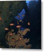 Red Bigeye Fish And Sea Fan In An Metal Print by Mathieu Meur