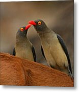 Red-billed Oxpeckers Metal Print