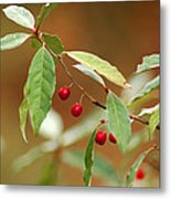 Red Bird Berries Of Fall Metal Print