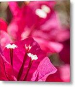 red Bougainvillea Metal Print
