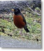 Red Brest Robin - 0001 Metal Print