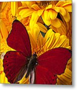 Red Butterfly On Yellow Gerbera Daisies  Metal Print